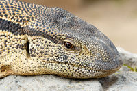 Close Up of a Monitor Lizard sitting on a rock