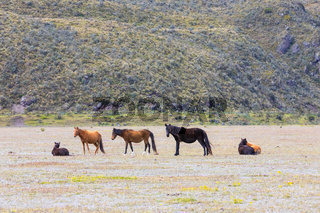 wild horses in the highland prairie in the Cotopaxi national park