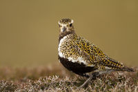 Close up of an European Golden plover