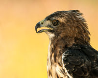 Red-Tailed Hawk III