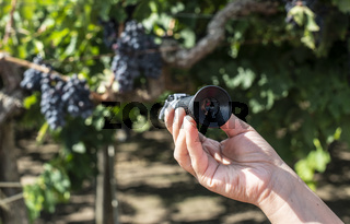 Farmer measures the sugar content of the grapes with refractometer.