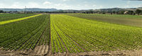 Big lettuce plantation on rows outdoor. Industrial lettuce farm.