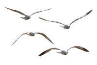 Four white seagulls flying