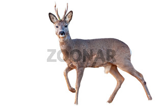 Roe deer buck in winter coating with antlers walking isolated on white