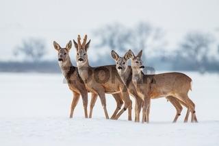 Roe deer herd in winter standing close together in deep snow.