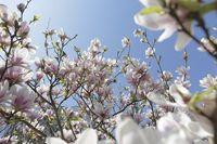 Magnolie, Zweige mit Blüten