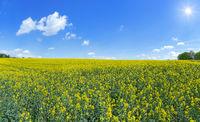 Bis zum Horizont reichendes blühendes Rapsfeld im Sonnenschein