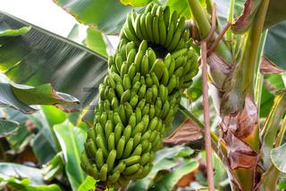 banana bunch at the banana plantation