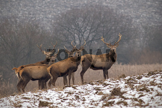 Herd of red deer stags in winter with antlers