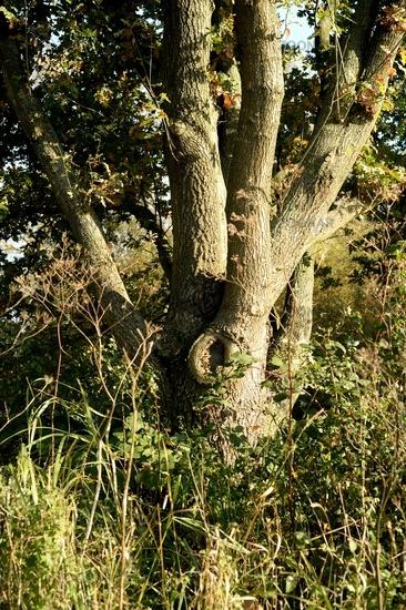 verzweigter Baumstamm einer Eiche