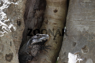 Ctenosaura similis, black spiny-tailed iguana native to Mexico sticking head out of a tree showing side profile.