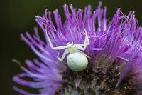 Veraenderliche Krabbenspinne, Misumena vatia, crab spider