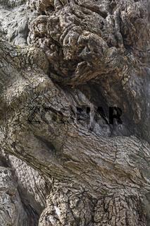 Hintergrundbild - Baunstamm eines Olivenbaumes