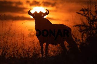 Blue wildebeest standing in silhouette against sunset