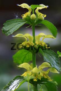 Gold-Taubnessel, Gewöhnliche Goldnessel (Lamium galeobdolon)