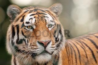 Face of Siberian tiger