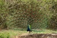 Peacock dancing, Pavo cristatus, Bandipur National Park, Karnataka, India