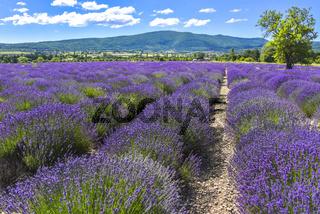 Blühende Lavendel-Reihen bei Sault