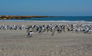 Laughing Gulls Leucophaeus Atricilla