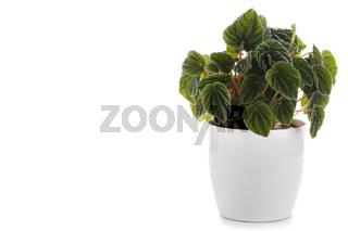 Peperomia caperata house plant