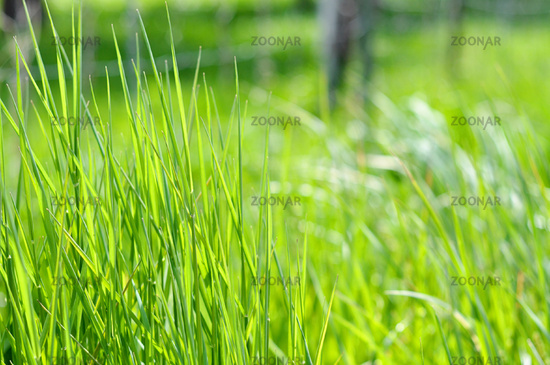 Background Of Green Long Grass