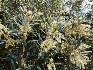 Blühender Olivenbaum, Olea europaea