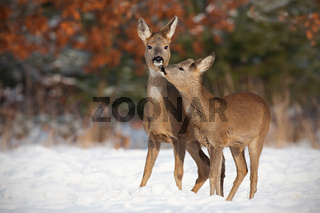 Mother and son roe deer, capreolus capreolus, in deep snow in winter kissing.
