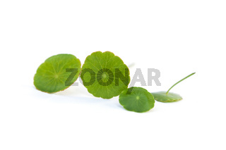 Asiatic pennywort leaves.