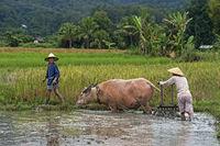 Zwei junge Männer pflügen ein Reisfeld mit einem Wasserbüffel, Luang Prabang, Laos