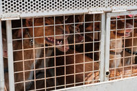 hunting dogs in cage, Canary Islands hounds, canarian warren hounds -