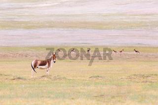 equus kiang in qinghai