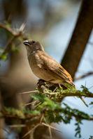 Grey-capped social weaver bird in thorny acacia
