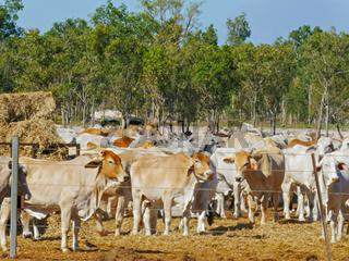 australian beef cattle at a cattle yard in darwin