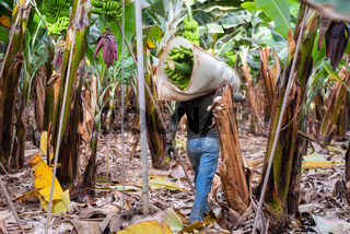 farmer carrying green banana bunch on farm