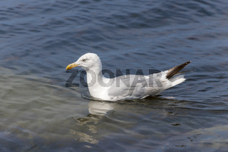Silbermöwe schwimmt bei leichtem Wellengang im Meer