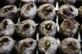 Seedlings sprouting in starter pods