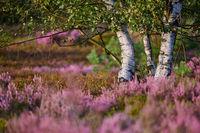 Birken in der Lueneburger Heide