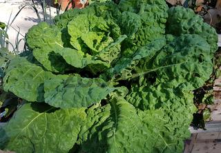 Butterkohl, Brassica oleracea var. costata