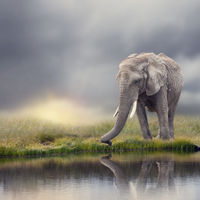 African Elephant  near water at sunset