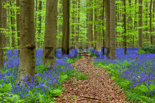 Famous forest Hallerbos in Brussels Belgium
