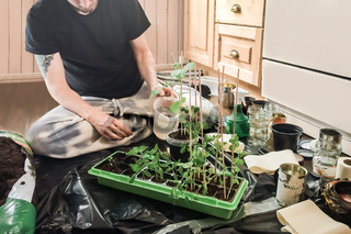 Young hipster man planting and watering green natural snow peas plants in container and recycled potts with organic soil in kitchen in preparation for growing self-sufficient summer vegetable garden