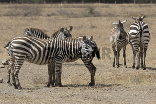 Yawning zebra that stands in a small herd in a dry savannah on a hot day