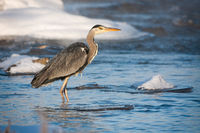 Grey heron standing in cold river at sunrise in winter