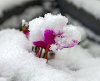 Frischer Schnee liegt auf einer pinkfarbenen Blüte einer Zyklame