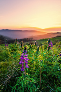 Wild Lupine Flowers at Sunset, Humboldt County, California