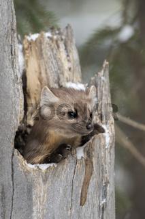 ein Jungtier... Amerikanischer Baummarder * Martes americana *
