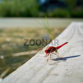 rote Feuerlibelle (Crocothemis erythraea)