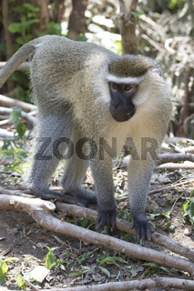 male Vervet Monkey standing among the trunks of a banana on a small plantation