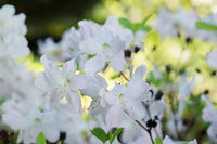 Flowers white Rhododendron