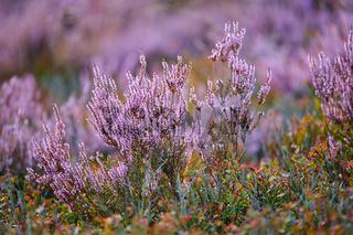 Lueneburger Heide Pflanzen
